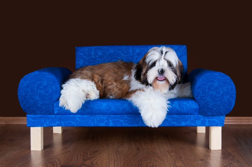 shih tzu puppy lying on the sofa